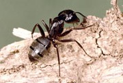 About Carpenter Ants