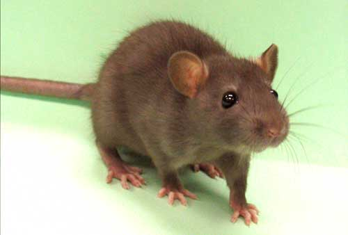 About Norway Rats